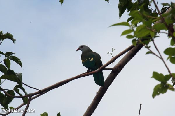 Wompoo fruit dove (Ptilinopus magnificus) [australia_daintree_272]