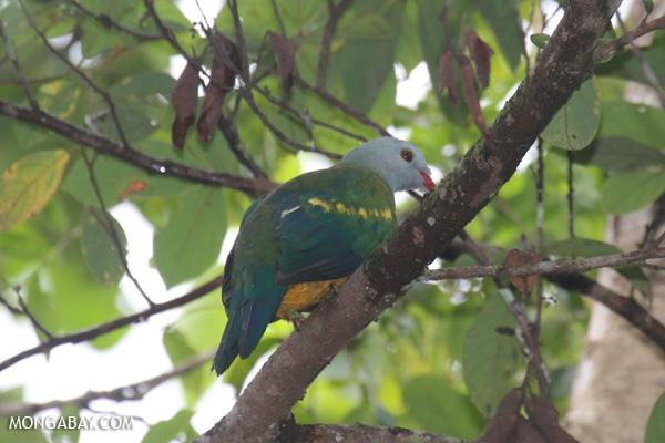 Wompoo fruit dove (Ptilinopus magnificus) [australia_daintree_273]