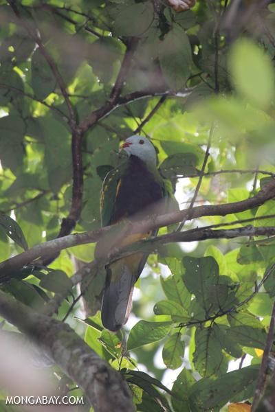 Wompoo fruit dove (Ptilinopus magnificus) [australia_daintree_275]