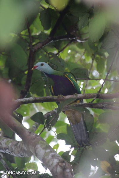 Wompoo fruit dove (Ptilinopus magnificus) [australia_daintree_277]