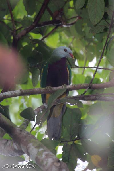 Wompoo fruit dove (Ptilinopus magnificus) [australia_daintree_280]