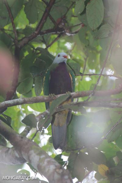 Wompoo fruit dove (Ptilinopus magnificus) [australia_daintree_282]