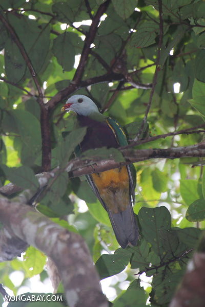 Wompoo fruit dove (Ptilinopus magnificus)