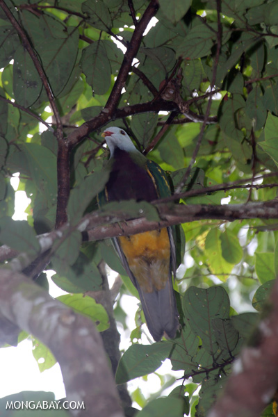 Wompoo fruit dove (Ptilinopus magnificus) [australia_daintree_292]