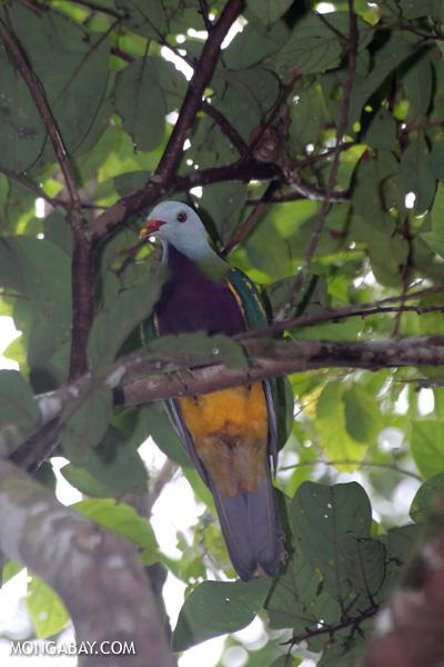 Wompoo fruit dove (Ptilinopus magnificus) [australia_daintree_293]