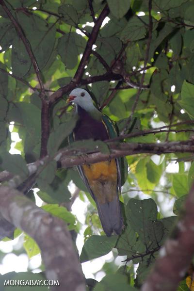 Wompoo fruit dove (Ptilinopus magnificus) [australia_daintree_294]