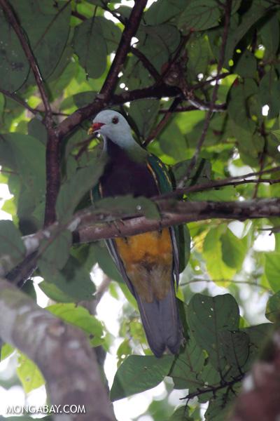 Wompoo fruit dove (Ptilinopus magnificus) [australia_daintree_295]