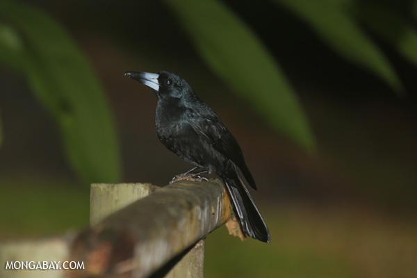 Bird [australia_daintree_338]