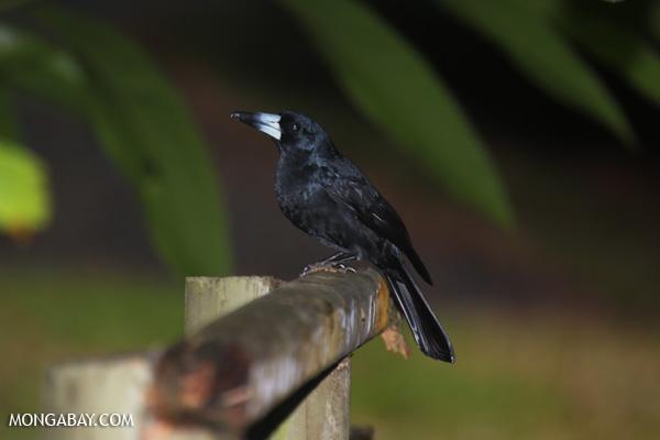 Bird [australia_daintree_339]