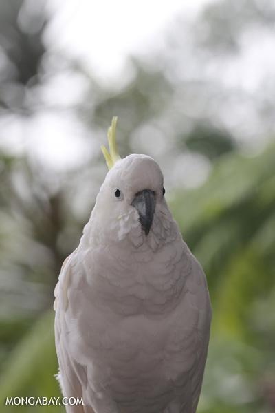 Sulfur-crested cockatoo [australia_daintree_341]