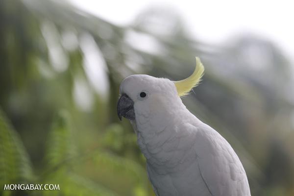 Sulfur-crested cockatoo [australia_daintree_342]