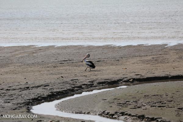 Australian pelican (Pelecanus conspicillatus) [australia_fnq_0025]