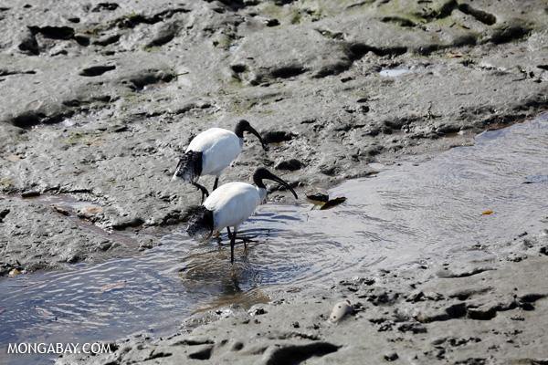 Australian white ibis (Threskiornis moluccus) [australia_fnq_0027]