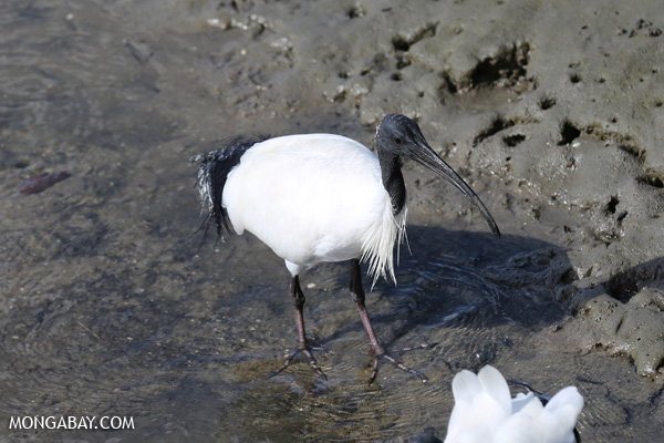 Australian white ibis (Threskiornis moluccus) [australia_fnq_0035]