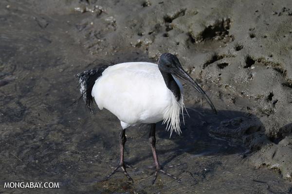 Australian white ibis (Threskiornis moluccus) [australia_fnq_0036]
