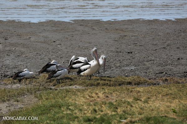 Australian pelican (Pelecanus conspicillatus) [australia_fnq_0038]
