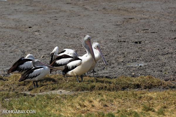 Australian pelican (Pelecanus conspicillatus) [australia_fnq_0039]