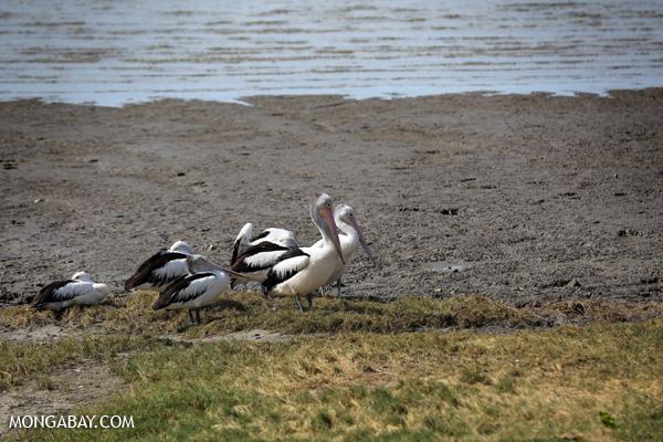 Australian pelican (Pelecanus conspicillatus) [australia_fnq_0040]