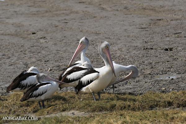 Australian pelican (Pelecanus conspicillatus) [australia_fnq_0042]