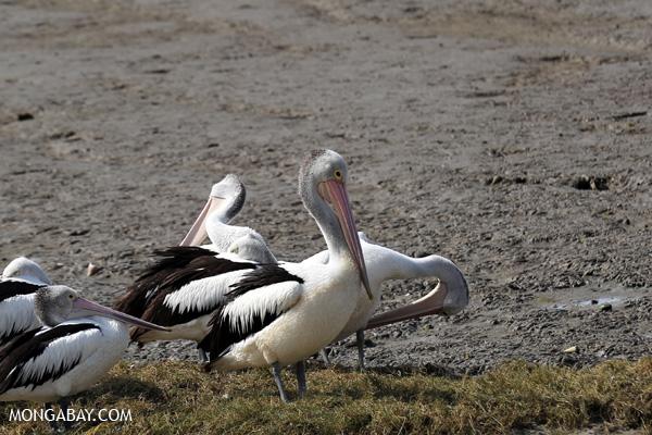 Australian pelican (Pelecanus conspicillatus) [australia_fnq_0045]