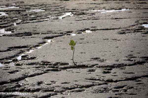 Solitary mangrove seedling