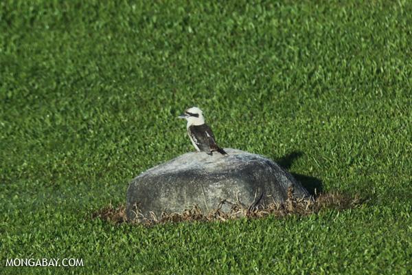 Kookaburra [australia_fnq_0088]