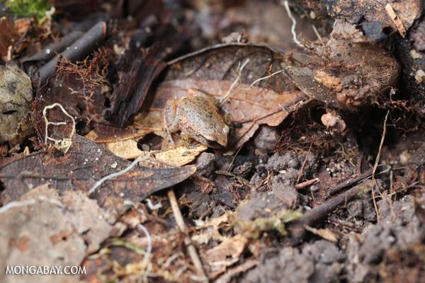 Frog [australia_fnq_0148]