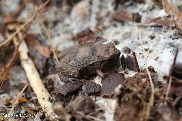 Frog [australia_fnq_0152]