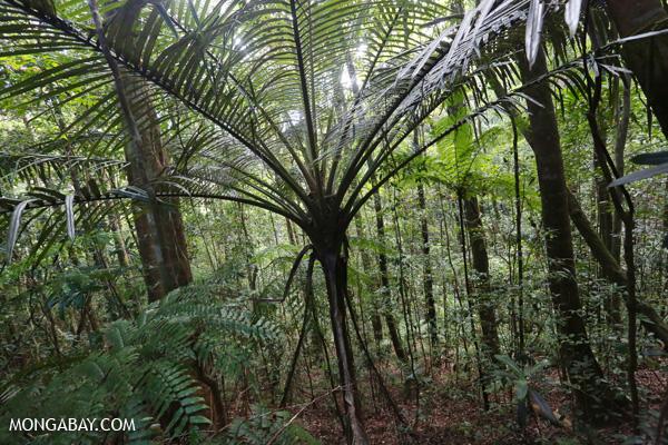 Tree fern [australia_fnq_0166]