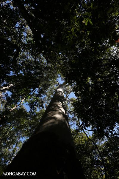 Giant gum tree [australia_fnq_0174]