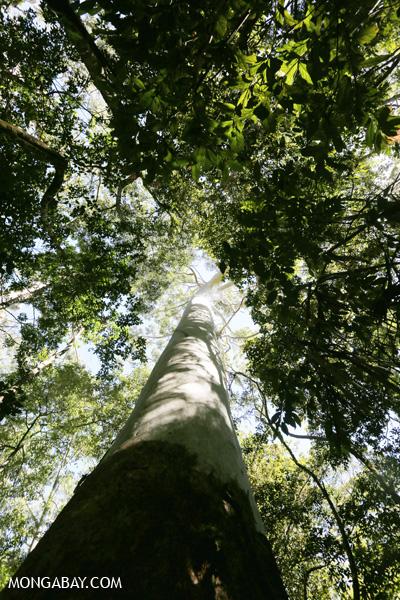Giant gum tree [australia_fnq_0175]