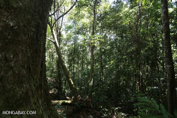 Mt Lewis rainforest [australia_fnq_0177]