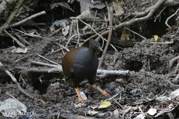 Pale-vented Bush-hen (Amaurornis moluccana) [australia_fnq_0214]