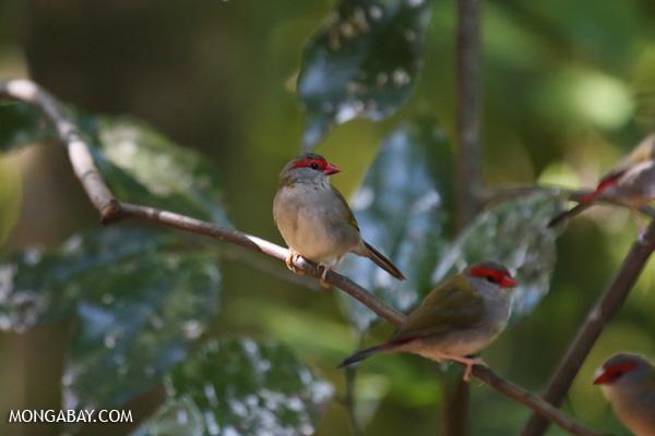 Bird [australia_fnq_0224]