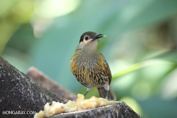 Bird [australia_fnq_0226]