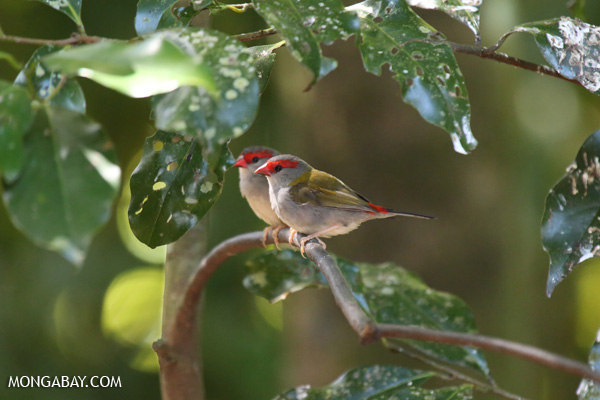 Bird [australia_fnq_0229]