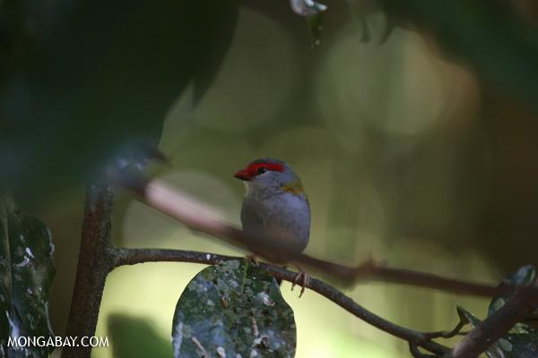 Bird [australia_fnq_0232]