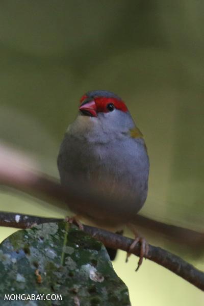 Bird [australia_fnq_0233]