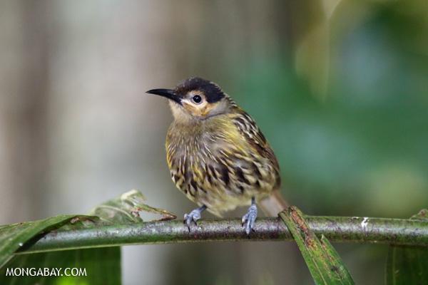 Bird [australia_fnq_0245]
