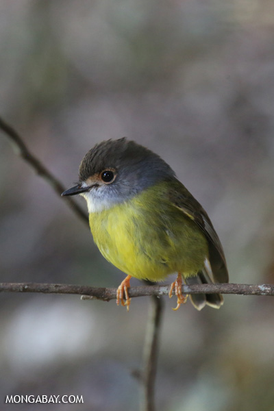 Eastern yellow robin (Eopsaltria australis) [australia_fnq_0263]