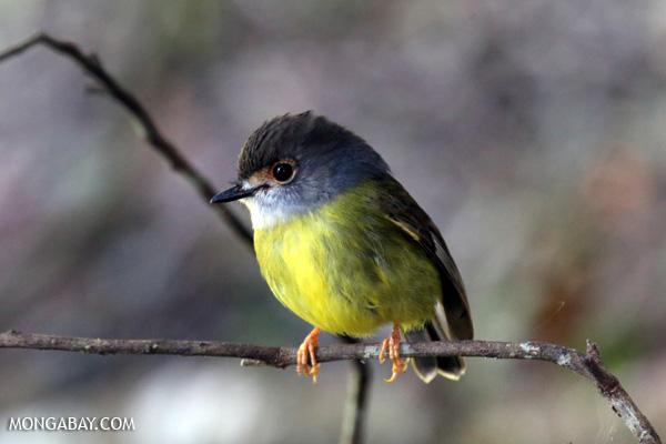 Eastern yellow robin (Eopsaltria australis) [australia_fnq_0264]