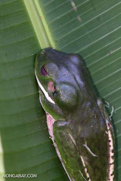 White-lipped tree frog (Litoria infrafrenata) [australia_fnq_0282]