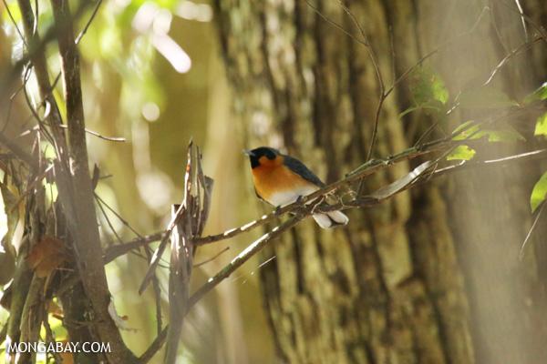 Bird [australia_fnq_0296]