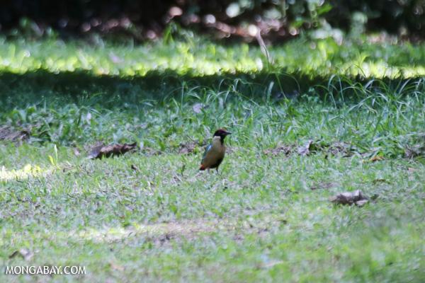 Noisy pitta (Pitta versicolor [australia_fnq_0306]