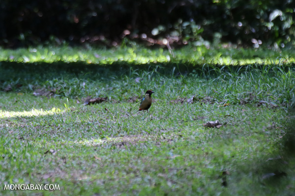 Noisy pitta (Pitta versicolor [australia_fnq_0307]