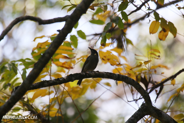 Bird [australia_fnq_0310]