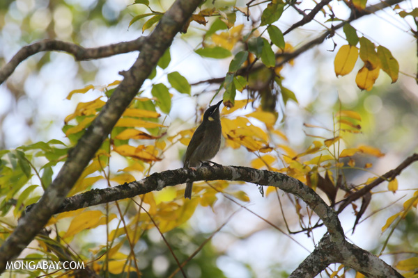 Bird [australia_fnq_0313]