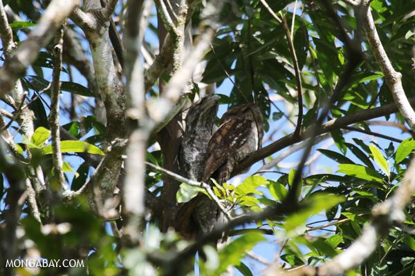 Papuan frogmouth (Podargus papuensis) [australia_fnq_0314]