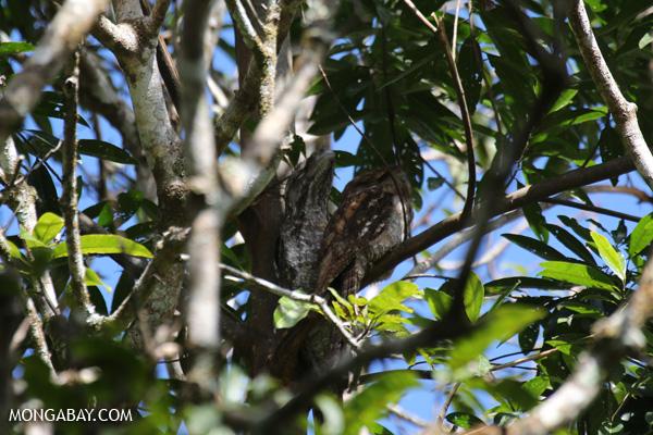 Papuan frogmouth (Podargus papuensis) [australia_fnq_0316]