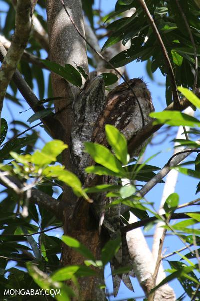 Papuan frogmouth (Podargus papuensis) [australia_fnq_0317]